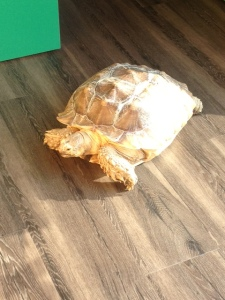 giant tortoise2