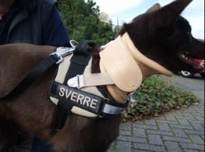 kelpie with cervical brace (neck brace)