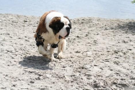 Oscar with elbow brace at dog beach